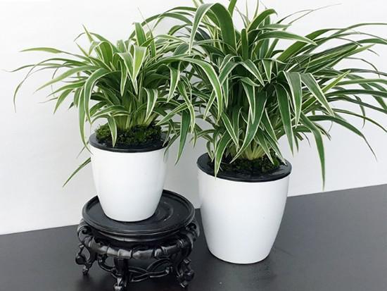 防辐射植物图片