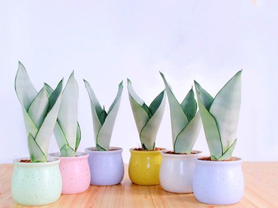 盆栽虎尾兰图片