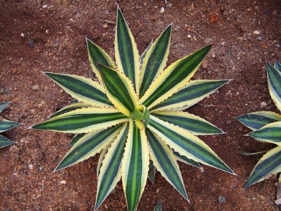 龙舌兰花图片