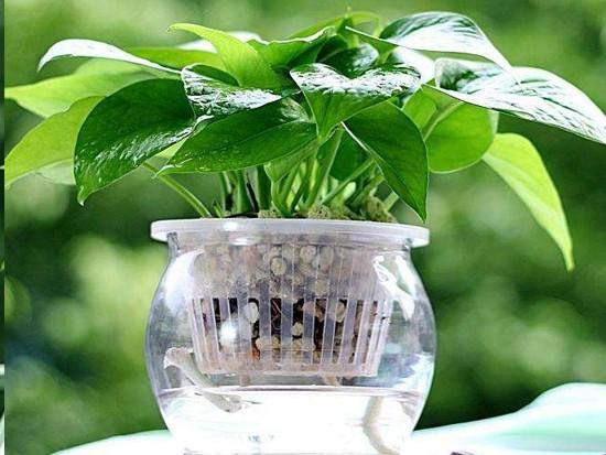 绿萝的施肥