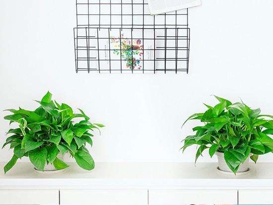 水培绿萝花盆
