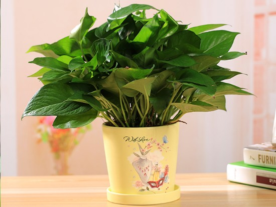 绿萝盆栽图片