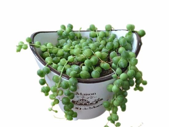 珍珠吊兰的养殖方法和注意事项