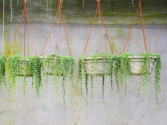 珍珠吊兰扦插