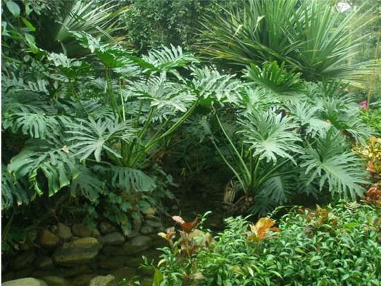 盆栽龟背竹图片