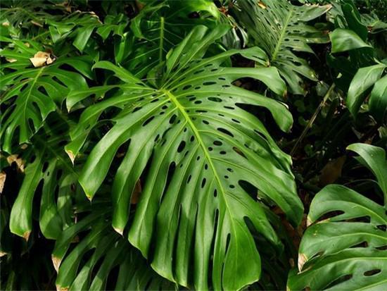 龟背竹的繁殖方法和注意事项