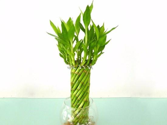 从风水看家中财位放富贵竹好吗