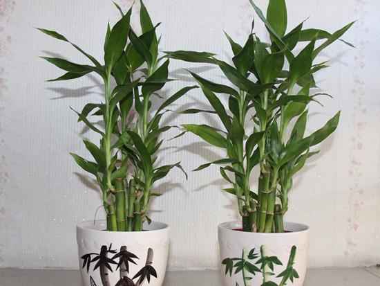 富贵竹和绿萝一块养好吗风水