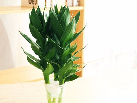 富贵竹水养几根最好风水