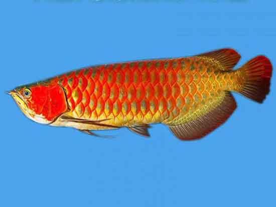 风水鱼风水作用有哪些?