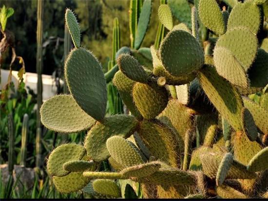 片状仙人掌品种