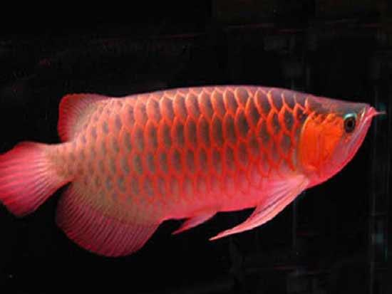 风水鱼品种大全介绍