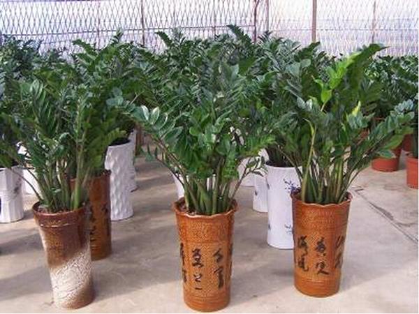 小金钱树的养殖方法