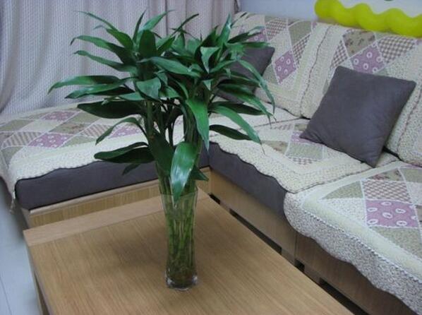 富贵竹有什么作用 富贵竹的功效是什么