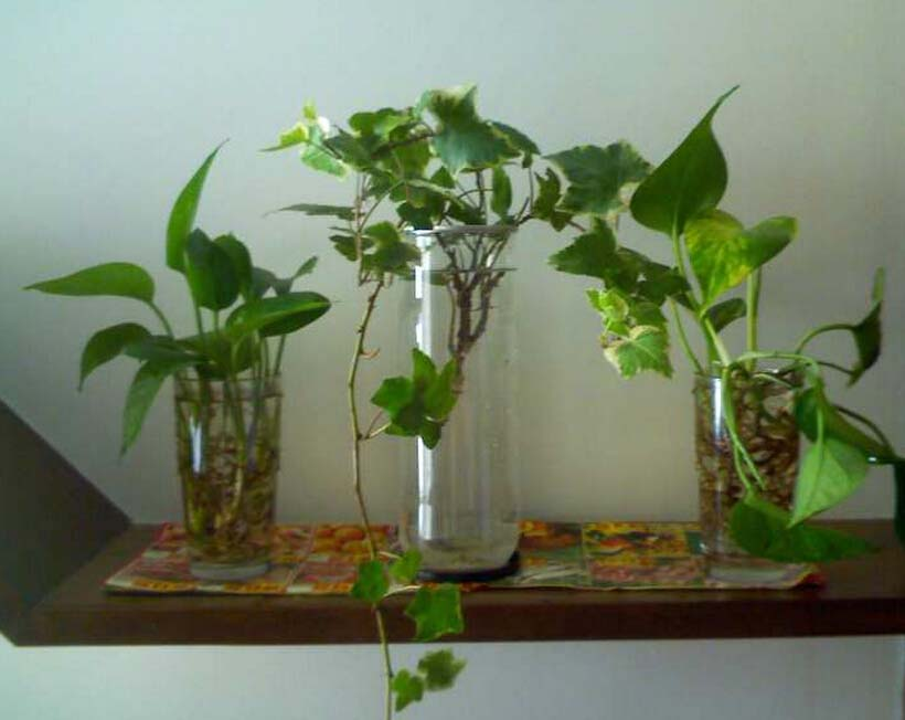 绿萝怎么养长得快 绿萝养殖方法
