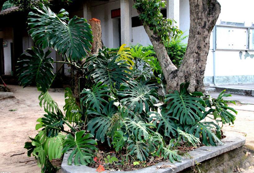 龟背竹种类有哪些