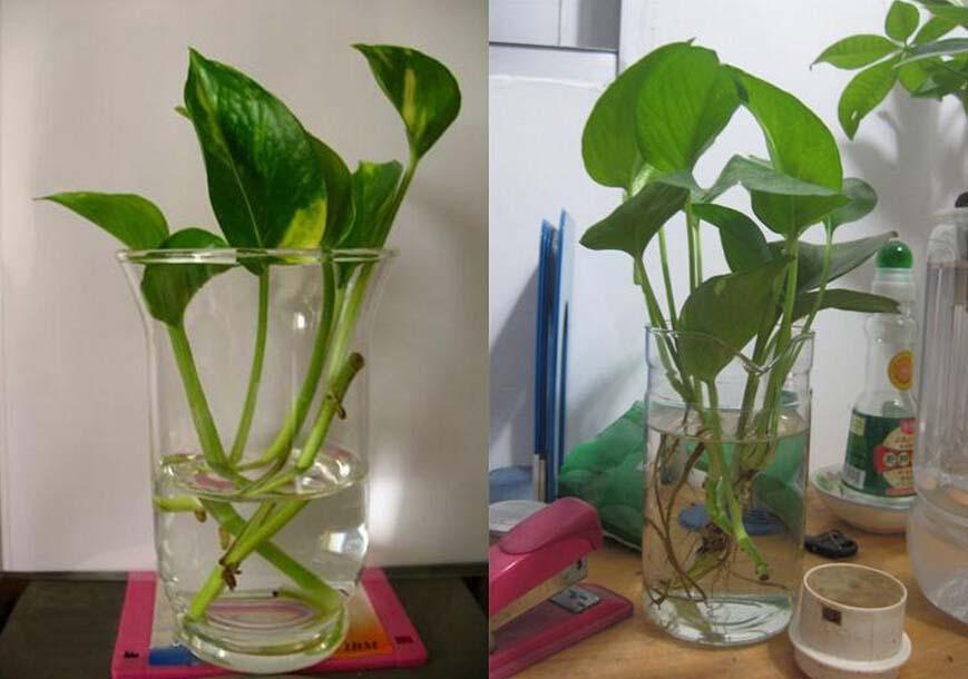 水培绿萝的养殖方法和注意事项
