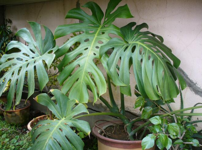 龟背竹的养殖方法和注意事项室内