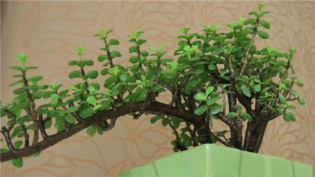 金枝玉叶植物