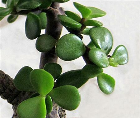 金枝玉叶植物生长习性,寓意和播种繁殖方法图片