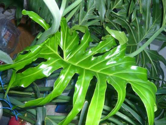 哪些是家居风水植物