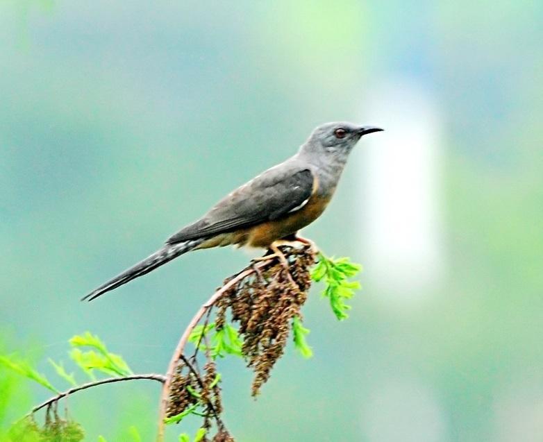杜鹃鸟十分喜欢消灭松毛虫,这是一种十分喜欢吃啃松树的害虫.