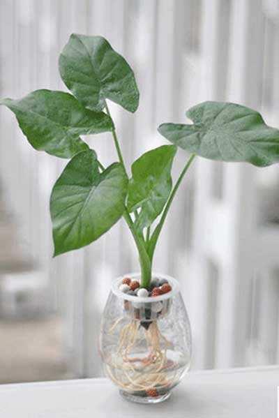 水培滴水观音的养殖方法和注意事项