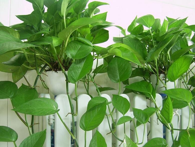 秋天的时候,绿萝需要修剪枝叶吗?可以换盆吗?