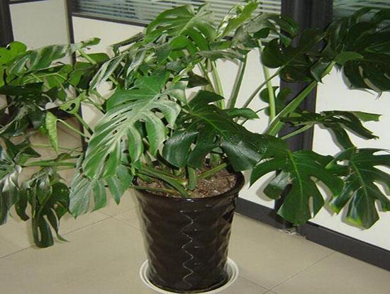龟背竹的作用有哪些