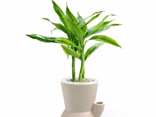 富贵竹有什么作用