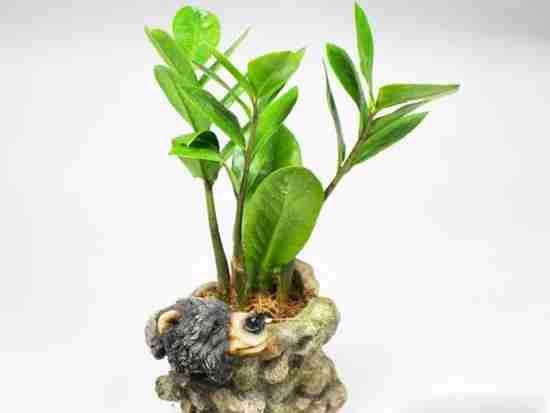 金钱树的意义及作用