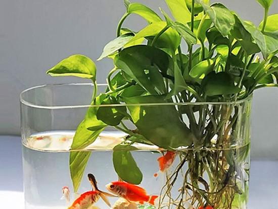 水培滴水观音的养殖怎样?