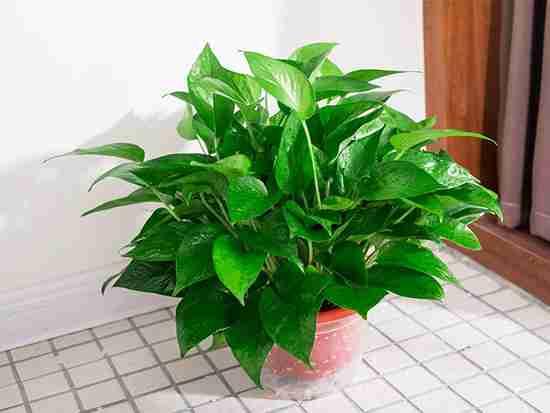 室内什么植物防辐射