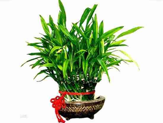 水养富贵竹风水禁忌