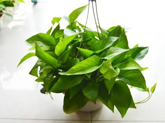 绿萝种植方法是什么