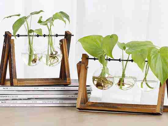 绿萝水培怎么养比较好呢