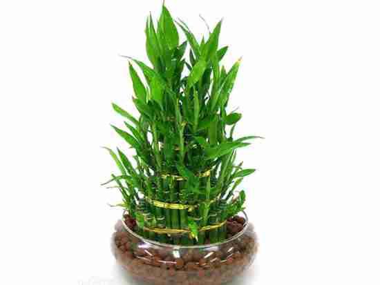 富贵竹的风水都有什么讲究