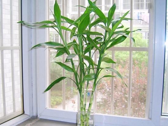 富贵竹的风水作用都有哪些?