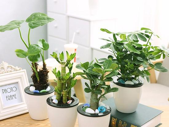 植物滴水观音怎么养