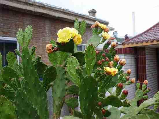 仙人掌能吸收辐射吗?