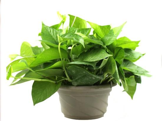 绿萝大棚如何种植