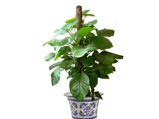 能防电脑辐射的植物都有哪些?