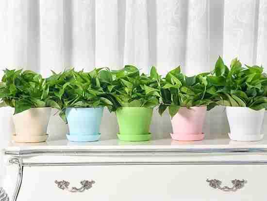 水生绿萝的养殖方法和注意事项