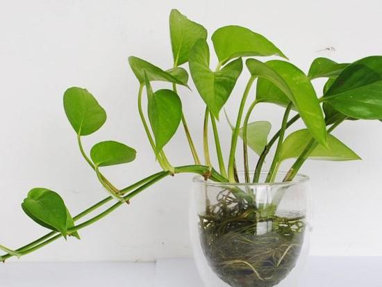 绿萝埋茎法具体是怎么样的