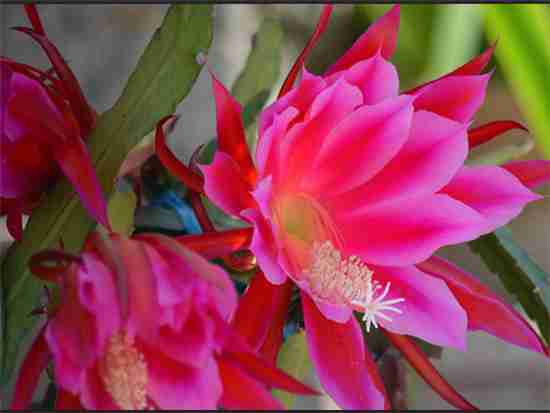 花卉令箭荷花图片欣赏