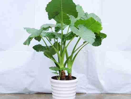 植物滴水观音的作用有哪些