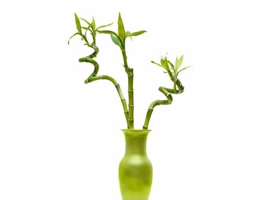 富贵竹适合在客厅放吗