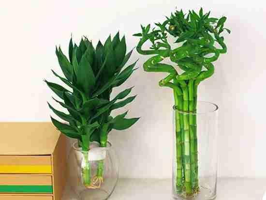 水养富贵竹摆放风水有什么讲究