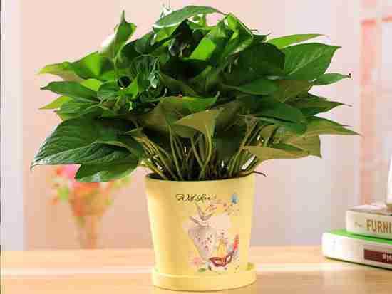 水培绿萝花盆步骤有哪些?
