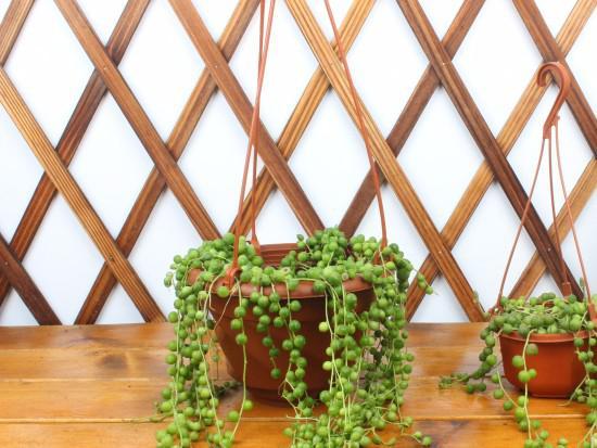 珍珠吊兰的养殖方法和注意事项有什么